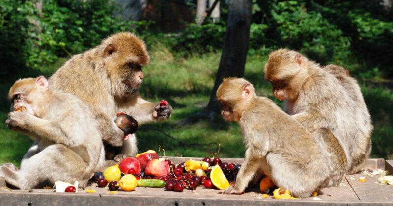 Affenmahlzeit im Tierpark Ueckermünde